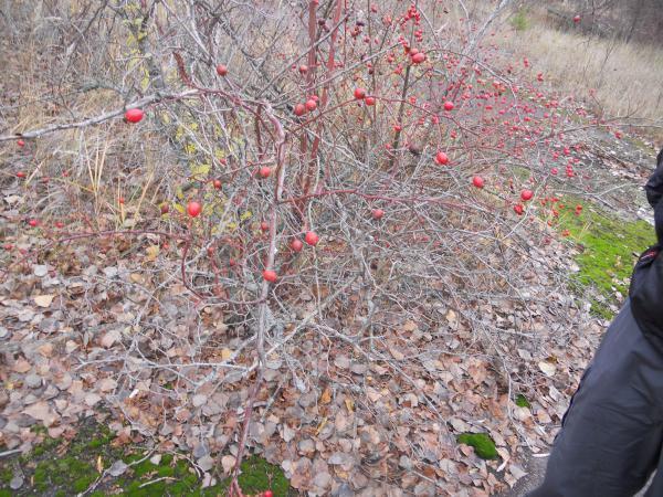 Berries at Chernobyl